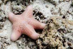 A pink sea star close up on the sand background Stock Photos