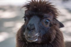 alpaca portrait close up looking at you - stock photo