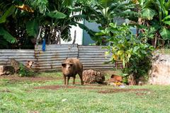 Hovel, shanty, shack in Kingdom of Tonga, Polynesia Stock Photos