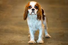 white and brown chevalier king dog portrait looking at you while drooling - stock photo