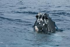 Humpback whale head comuing up in deep blue polynesian ocean - stock photo