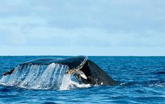 Humpback whale tail going down in blue polynesian sea - stock photo