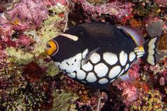 clown triggerfish portrait in maldives - stock photo