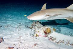 Nurse Shark and yellow pilot fish close up on black background while diving i Stock Photos