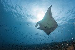 Manta in the blue background while diving maldives - stock photo