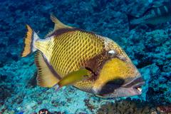 titan triggerfish on soft corals background - stock photo