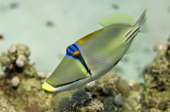 Red Sea Picasso Trigger Fish close up portrait Stock Photos