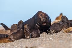 Big Male sea lion seal on Patagonia beach while roaring Stock Photos