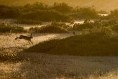 patagonia hare jumping on the grass field at sunset - stock photo
