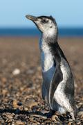 Newborn small Patagonia penguin close up portrait on the beach looking at you Stock Photos