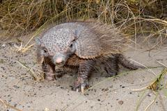 Armadillo close up portrait in patagonia Stock Photos