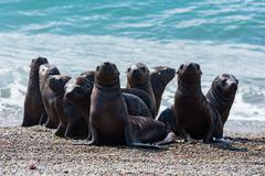 patagonia puppy sea lion portrait seal on the beach - stock photo