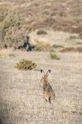 Patagonia hare on the grass field Stock Photos