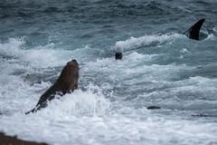 Killer whale while attacking a newborn sea lion on patagonia beach - stock photo
