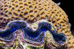 Red Sea blue giant clam close up portrait - stock photo