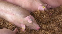 Pigs sleeping at 83rd Traditional Agricultural fair in Novi Sad Stock Footage