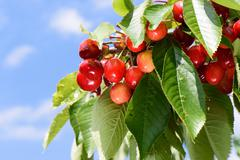 Red and yellow cherries with green leaves on a tree Stock Photos