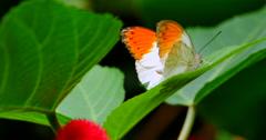 4K Orange-Tip Butterfly resting on Jungle Plant Leaf, Anthocharis cardamines Stock Footage