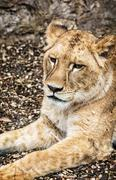 Barbary lioness portrait - Panthera leo leo, beauty in nature - stock photo