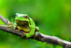 Green frog (Rana ridibunda) Stock Photos