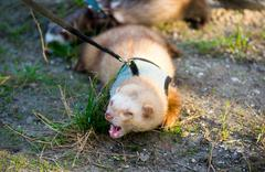 Two ferret for walk with a collar and leash - stock photo