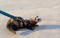 Dark polecat with a collar on leash for a walk - stock photo