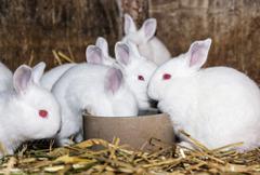 Beautiful white rabbits, animal farm - stock photo
