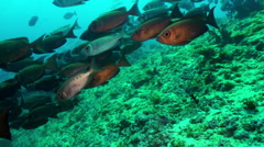 School of tropical fish on reef in search of food. Stock Footage