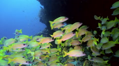School of yellow tropical fish on reef in sea. Stock Footage
