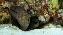 Large moray eel sitting on reef in search of food Stock Footage