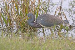 Tricolored Heron Searching for Food - stock photo