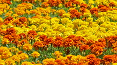 Yellow And Orange Field Of Marigold Flowers In Springtime - stock footage