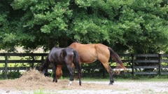 Two horses eating dry hay at the pasture - stock footage
