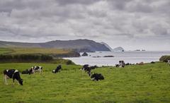 Cows at the Irish coast Stock Photos