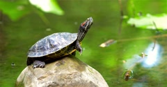 Pond Turtle Heating In The Sun On Rock In Lake Water - stock footage