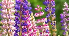 Pink And Purple Muscari Armeniacum Spring Flowers In Garden - stock footage