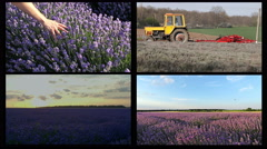 Mixed agricultural theme. Lavender field, sunset time lapse over a lavender Stock Footage