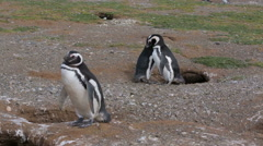 A male Magellanic penguin courting a female at Magdalena Island in Chile Stock Footage