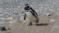A Magellanic penguin walking on the rocks  at Magdalena Island in Chile Stock Footage