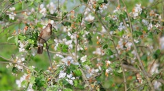 Nightingale. Song. Stock Footage