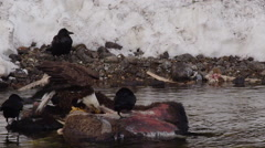 Eagles and bison compete to tear at bison carcass in spring river Stock Footage