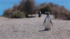 A Magellanic penguin at Valdes Peninsula in Argentina - stock footage