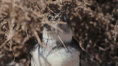 A close up of a Magellanic penguin at Valdes Peninsula in Argentina - stock footage