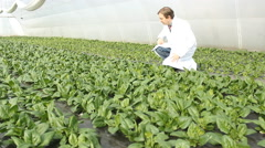 Agronomist in a Spinach greenhouse  - stock footage