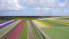 sky view on tulips field - stock footage