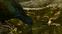 Nicobar Pigeon Drinking Stock Footage