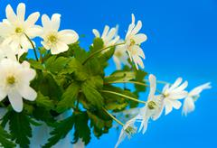 Bouquet of flowers snowdrop Anemone Stock Photos