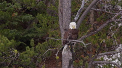 Bald eagle sitting on tree limb looks around and takes off Stock Footage