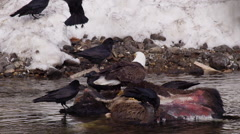 Slow motion ravens trying to take over bison carcass from bald eagle - stock footage