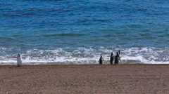 3 Magellanic penguin entering the ocean at Valdes Peninsula in Argentina - stock footage